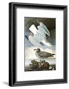 Herring Gull & Black Duck by John James Audubon