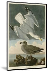 Herring Gull by John James Audubon