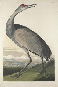 Hooping Crane, 1835 by John James Audubon
