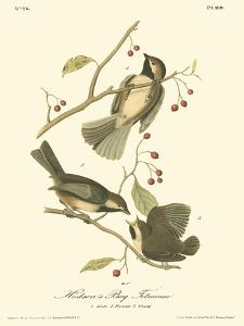 Hudson's Bay Titmouse by John James Audubon