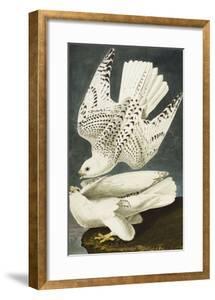 Iceland or Jer Falcon. Gyrfalcon (Falco Rustiocolis), from 'The Birds of America' by John James Audubon