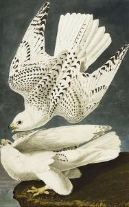 Iceland or Jer Falcon. Gyrfalcon (Falco Rustiocolis), from 'The Birds of America' by John James Audubon
