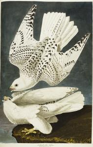 Iceland or Jer Falcon. Gyrfalcon by John James Audubon