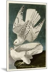Iceland or Jer Falcon by John James Audubon