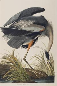 Illustration from 'Birds of America', 1827-38 (Hand-Coloured and Aquatint) by John James Audubon