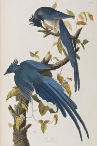 Illustration from 'Birds of America', 1827-38 by John James Audubon