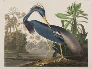 Illustration from 'Birds of America', 1827-38 by John James Audubon