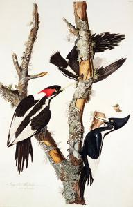 Ivory-Billed Woodpecker, 1829 by John James Audubon