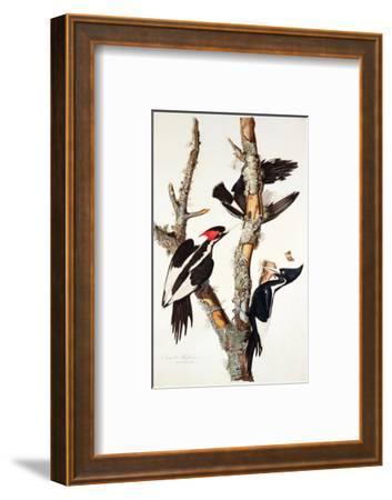 Ivory-Billed Woodpecker, 1829