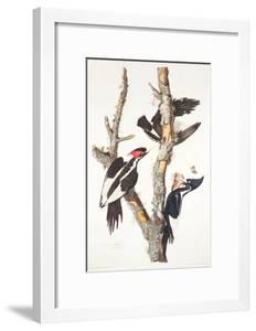 Ivory-Billed Woodpecker, 1829 by John James Audubon