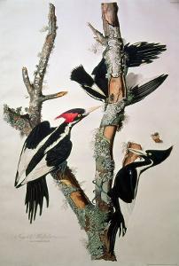 "Ivory-Billed Woodpecker, from ""Birds of America,"" 1829 by John James Audubon"