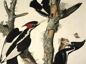 Ivory-Billed Woodpecker, from Birds of America, Engraved by Robert Havell by John James Audubon