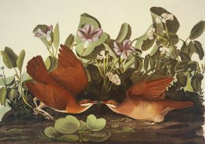 Key-West Dove by John James Audubon