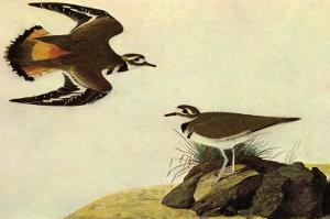 Killdeer by John James Audubon