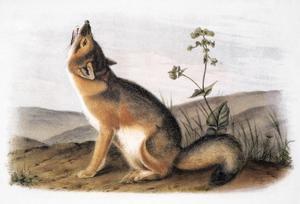 Kit Fox (Vulpes Velox) by John James Audubon