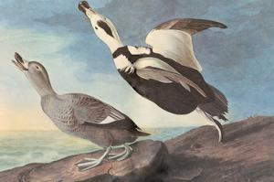 Labrador Duck by John James Audubon