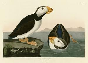 Large Billed Puffin by John James Audubon