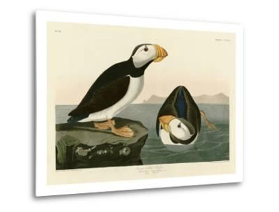 Large Billed Puffin