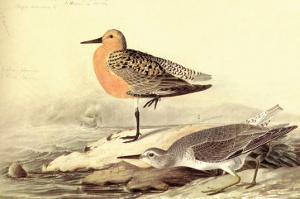 Leach's Petril by John James Audubon