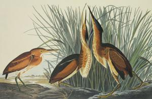 Least Bittern by John James Audubon