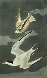 Lesser Tern. Little Tern (Sterna Albifrons), from 'The Birds of America' by John James Audubon