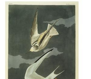 Lesser Tern. Little Tern by John James Audubon