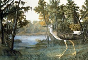 Lesser Yellowlegs by John James Audubon