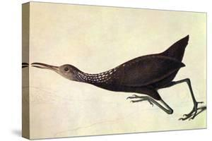 Limpkin by John James Audubon