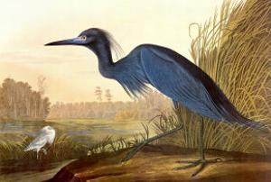 Little Blue Heron by John James Audubon