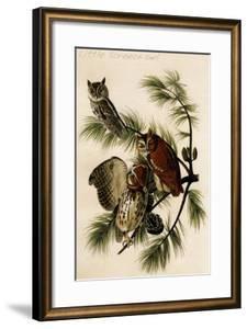 Little Screech Owl by John James Audubon