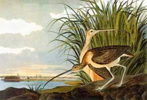 Long-Billed Curlew by John James Audubon
