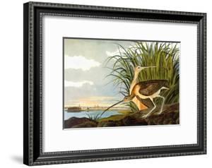 Long-Billed Curlew by John James Audubon