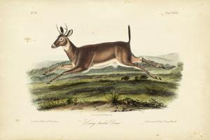 Long-tailed Deer by John James Audubon