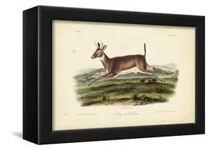 Long-tailed Deer by John James Audubon