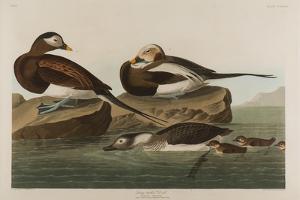 Long-Tailed Duck, 1836 by John James Audubon