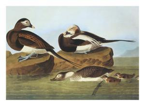 Long-Tailed Duck by John James Audubon
