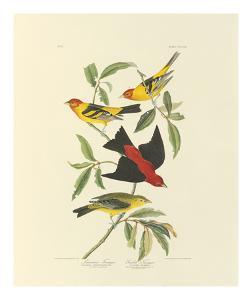 Louisiana and Scarlet Tanager by John James Audubon