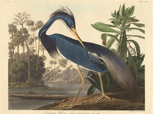 Louisiana Heron, 1834 by John James Audubon
