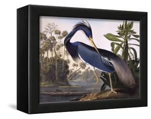 Louisiana Heron by John James Audubon