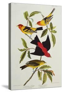Louisiana & Scarlet Tanager (Tanagra Ludoviciana & Rubra), Plate CCCLIV, from'The Birds of America' by John James Audubon