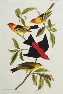 Louisiana & Scarlet Tanager (Tanagra Ludoviciana & Rubra), Plate CCCLIV, from'The Birds of America' by John James Audubon