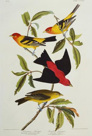 Louisiana & Scarlet Tanager (Tanagra Ludoviciana & Rubra), Plate CCCLIV, from'The Birds of America'