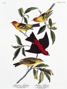 Louisiana Tanager and Scarlet Tanager by John James Audubon