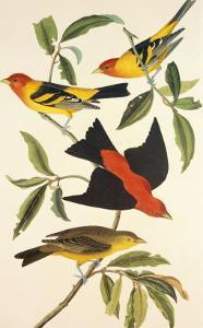 Louisiana Tanager, Scarlet Tanager by John James Audubon
