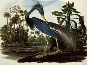 Louisiana Tricolor Heron by John James Audubon