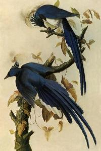 Magpie Jays by John James Audubon
