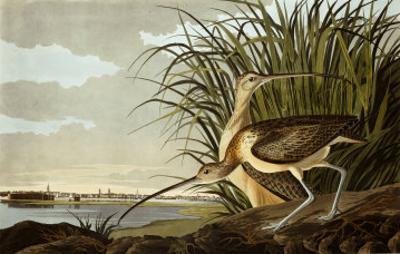 Male And Female Long Billed Curlew (Numenius Americanus) with the City of Charleston Behind