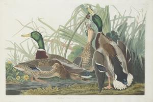 Mallard Duck, 1834 by John James Audubon
