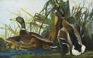 Mallard Duck. from 'The Birds of America' by John James Audubon