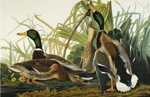 Mallard Duck. Mallard (Anas Platyrhynchos), Plate Ccxxi, from 'The Birds of America' by John James Audubon